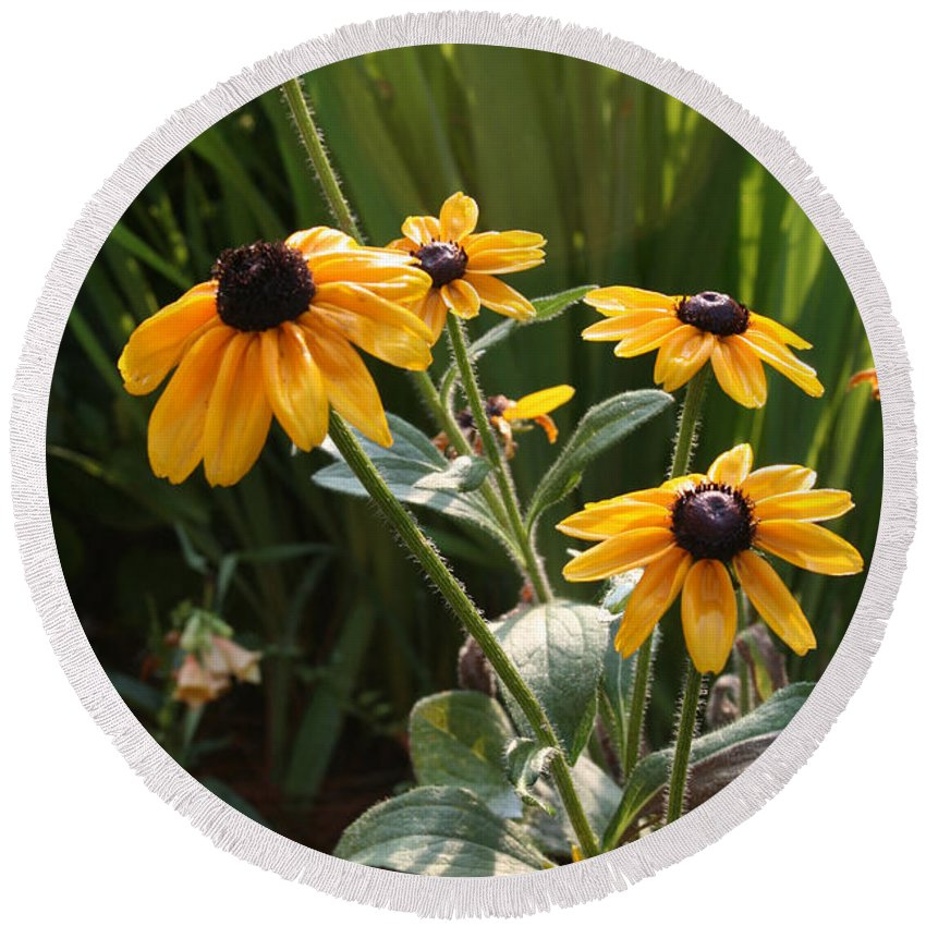 Flowers Round Beach Towel featuring the photograph Black-eyed Susans by Greg Joens
