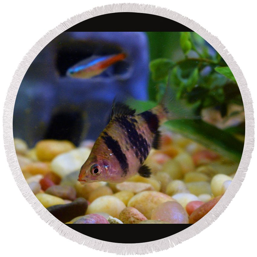 Pat Turner Round Beach Towel featuring the photograph Black Fin Tetra by Pat Turner