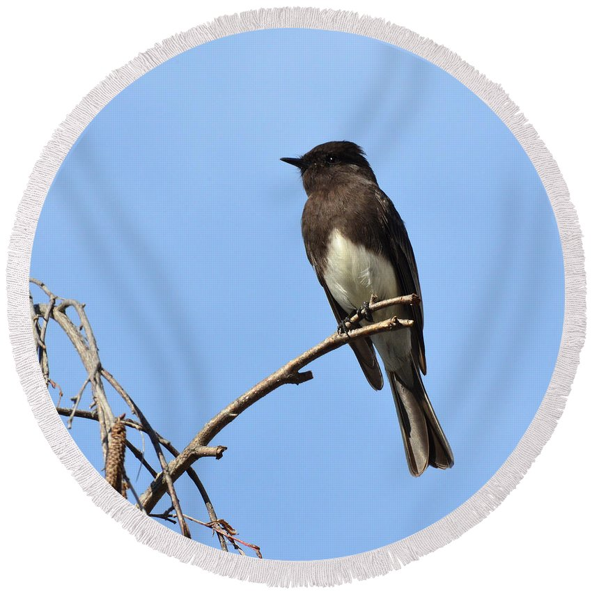 Phoebe Round Beach Towel featuring the photograph Black Phoebe 2 by David Hohmann
