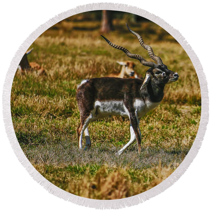 Florida Round Beach Towel featuring the photograph Blackbuck by Mark Fuge