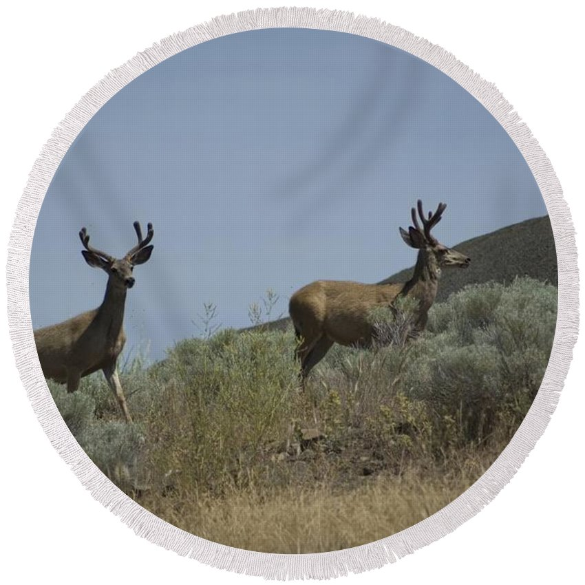 Buck Round Beach Towel featuring the photograph Blacktail Deer 3 by Sara Stevenson