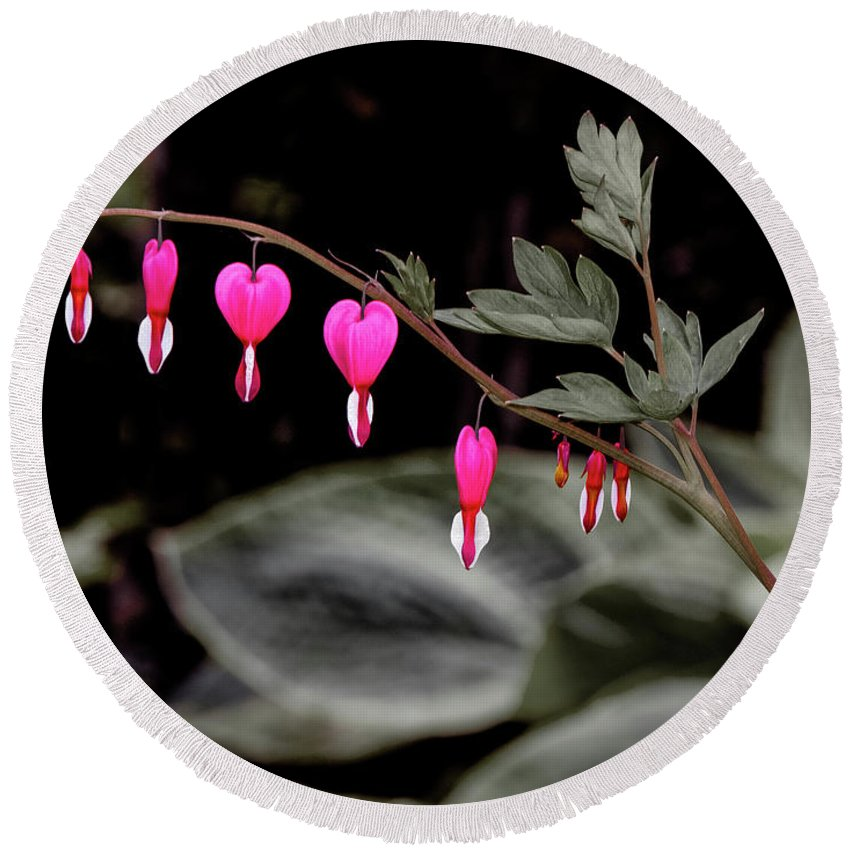 Viette Nurseries Round Beach Towel featuring the photograph Bleeding Hearts by Greg Reed