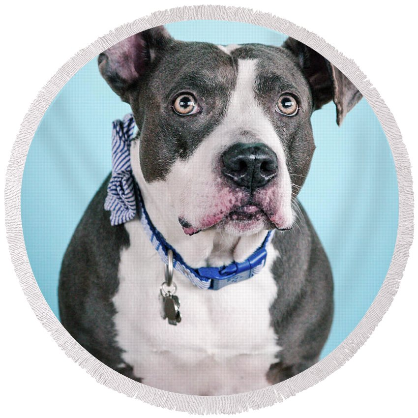 Dog Round Beach Towel featuring the photograph Blu 2 by Pit Bull Headshots by Headshots Melrose