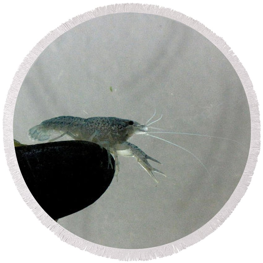 Aquatic Round Beach Towel featuring the photograph Blue Cray by Sarah Houser