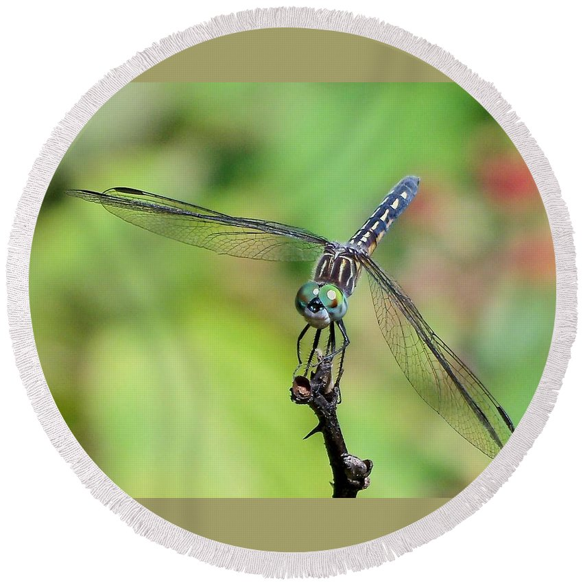 Lynne Miller Round Beach Towel featuring the photograph Blue Dasher Dragonfly On A Branch by Lynne Miller