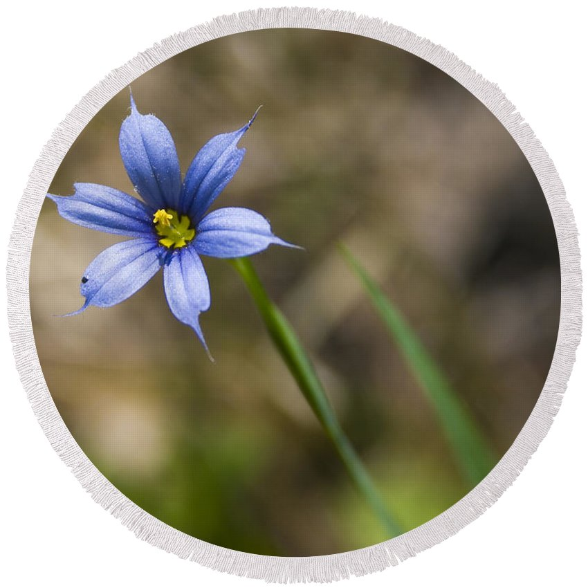 Flower Blue Grass Green Small Little Bright Color Colorful Yellow Flora Nature Round Beach Towel featuring the photograph Blue-eyed Grass II by Andrei Shliakhau