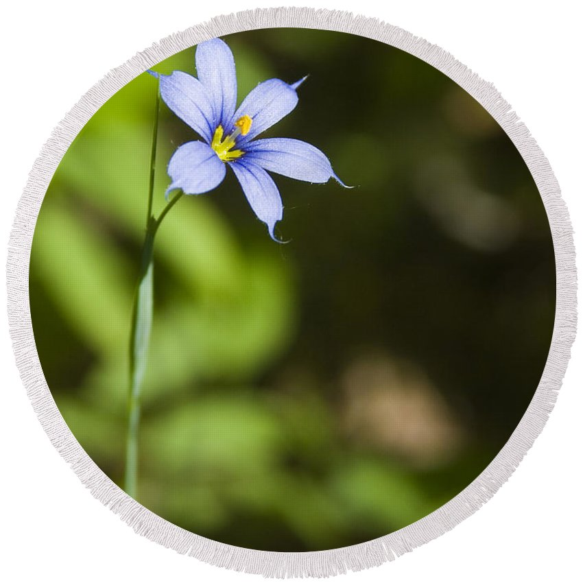 Blue Eye Grass Flower Nature Yellow Green Delicate Small Little Round Beach Towel featuring the photograph Blue-eyed Grass IIi by Andrei Shliakhau