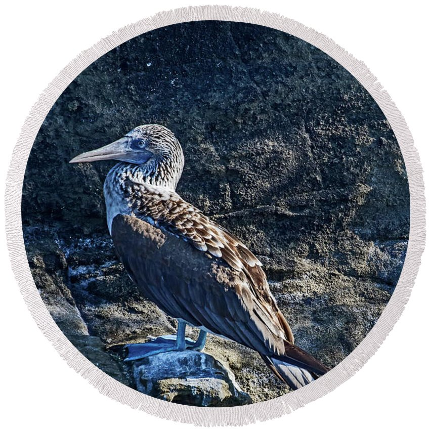 Birds Round Beach Towel featuring the photograph Blue-footed Booby Prize by John Haldane