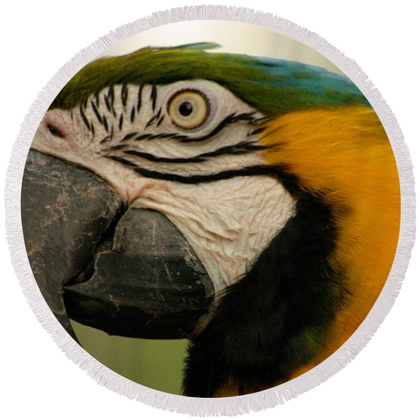 Parrot Round Beach Towel featuring the photograph Blue Gold Macaw South America by Ralph A Ledergerber-Photography