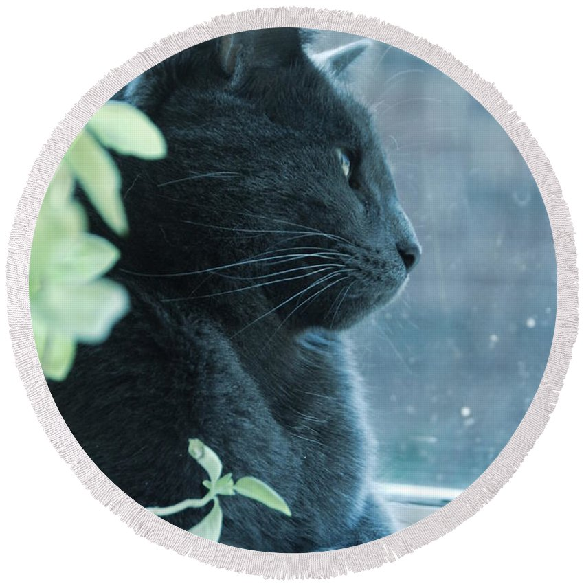 Cat Round Beach Towel featuring the photograph Blue Grey Contemplating Cat by Katherine Nutt