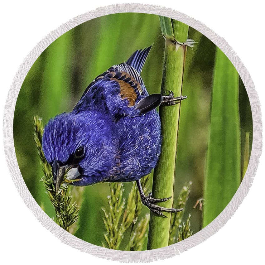 Animal Round Beach Towel featuring the photograph Blue Grosbeak On A Reed by Nick Zelinsky