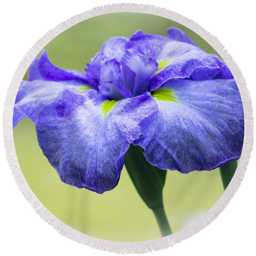 Flowers Round Beach Towel featuring the photograph Blue Iris by Venetia Featherstone-Witty