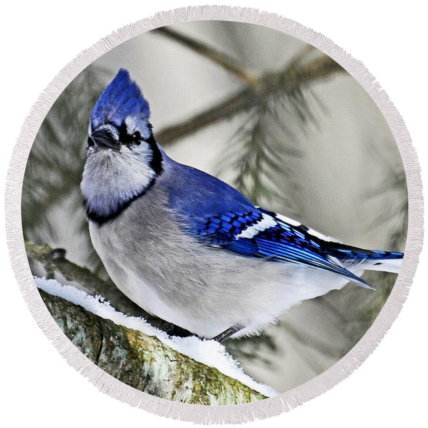 Bird Round Beach Towel featuring the photograph Blue Jay In Winter by Rodney Campbell