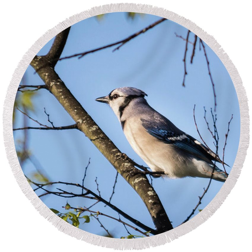 Wildlife Round Beach Towel featuring the photograph Blue Jay by John Benedict