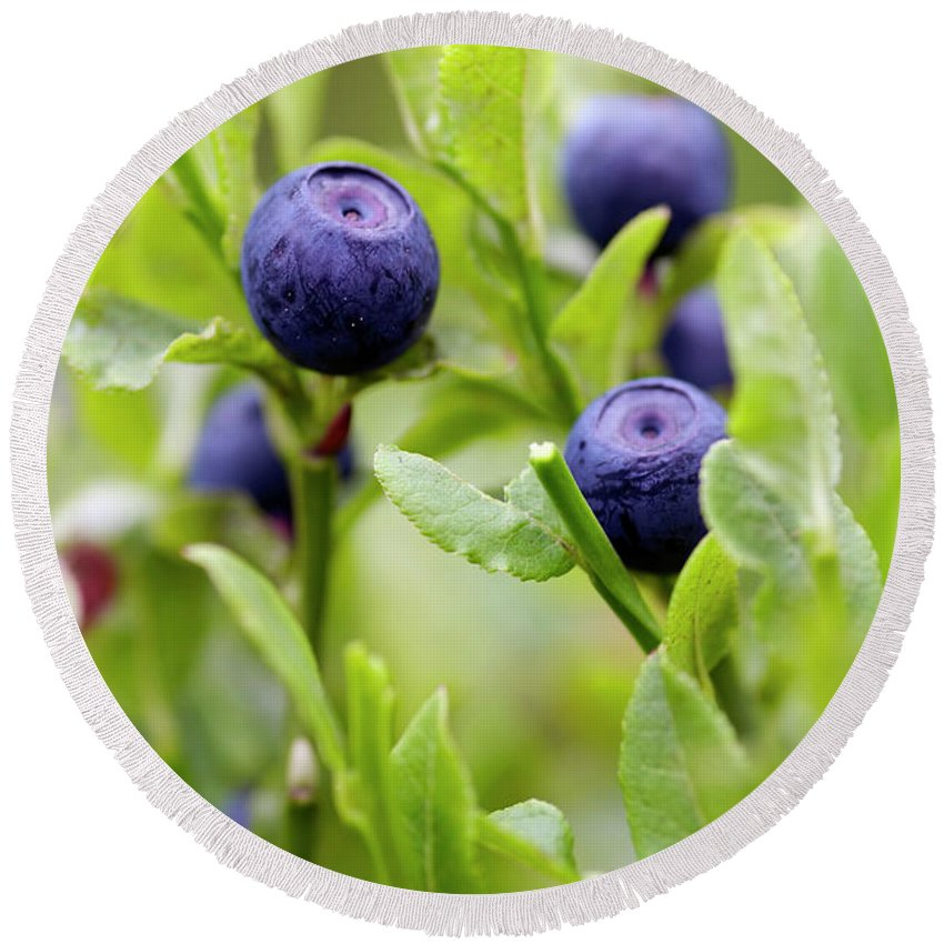 Blueberry Round Beach Towel featuring the photograph Blueberry Shrubs by Michal Boubin