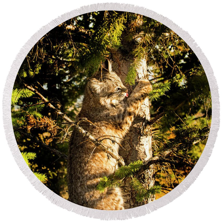 Bobcat Round Beach Towel featuring the photograph Bobcat up a tree by Roy Nierdieck