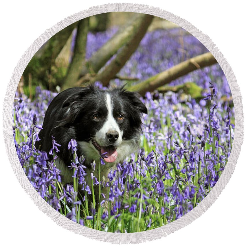 Bluebells Near Effingham In The Surrey Hills England Uk Round Beach Towel featuring the photograph Border Collie In Bluebells Uk by Julia Gavin