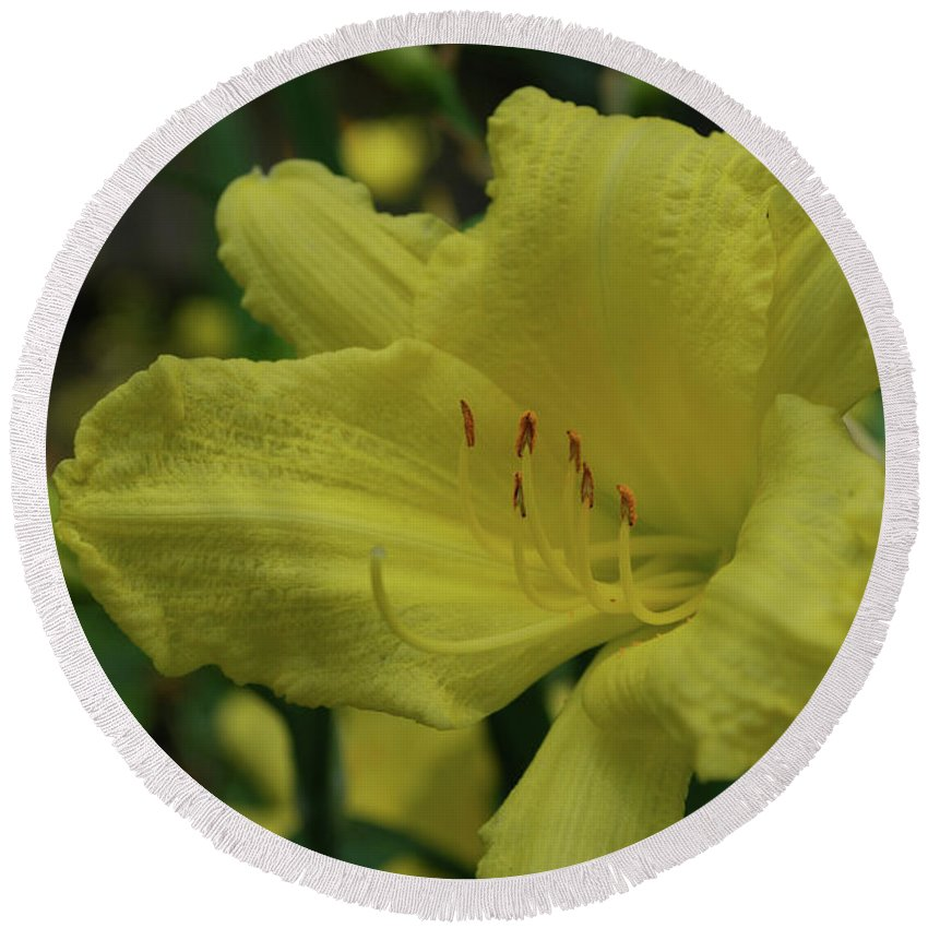 Lily Round Beach Towel featuring the photograph Brilliant Yellow Daylilies Flowering In A Garden by DejaVu Designs