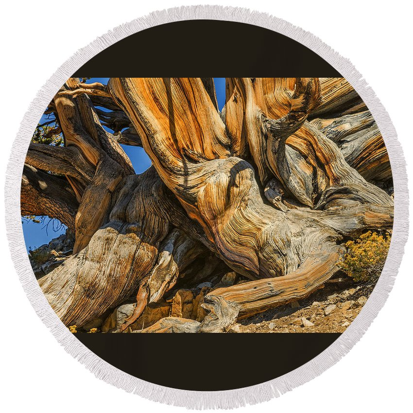 Bristle Cone Round Beach Towel featuring the photograph Bristle Cone Pine Tree White Mtns Ca Color Img 6799 by Greg Kluempers