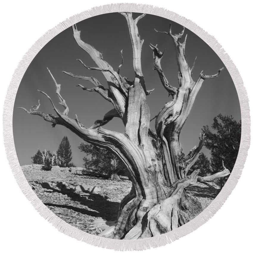 Bristlecone Round Beach Towel featuring the photograph Bristlecone Pine 1 by Bob Neiman