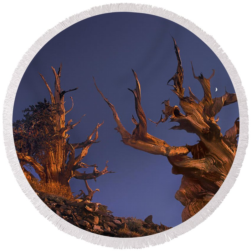 Bristlecone Pine Round Beach Towel featuring the photograph Bristlecone Pines At Sunset With A Rising Moon by Dave Welling