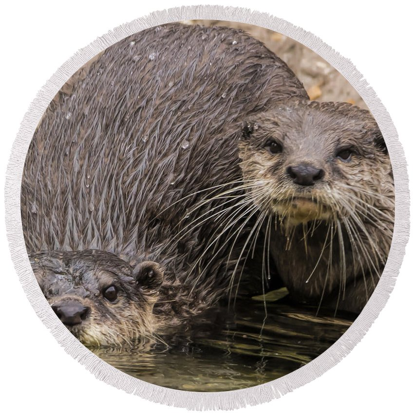 Otters Round Beach Towel featuring the photograph Buddies by James Ekstrom