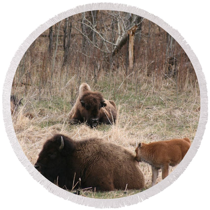 Bison Buffalo Calf Baby Animals Nature Love Native Round Beach Towel featuring the photograph Buffalo And Calf by Andrea Lawrence
