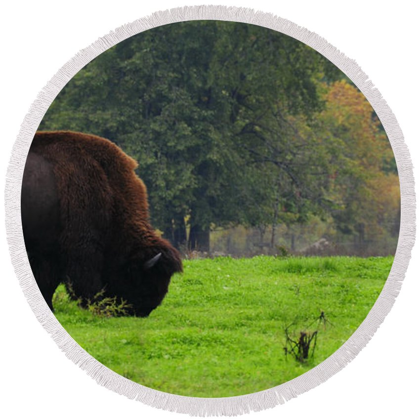 Buffalo Round Beach Towel featuring the photograph Buffalo In Spring Grass by David Arment