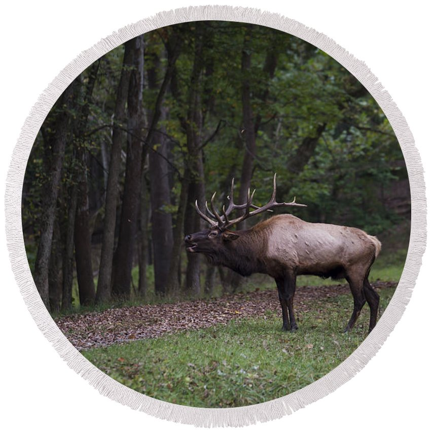 Bull Round Beach Towel featuring the photograph Bull Elk Bugle by Andrea Silies
