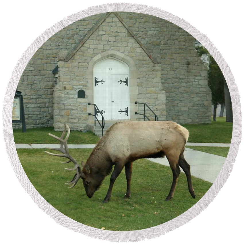 Lk Round Beach Towel featuring the photograph Bull Elk On The Church Lawn by Jeff Swan