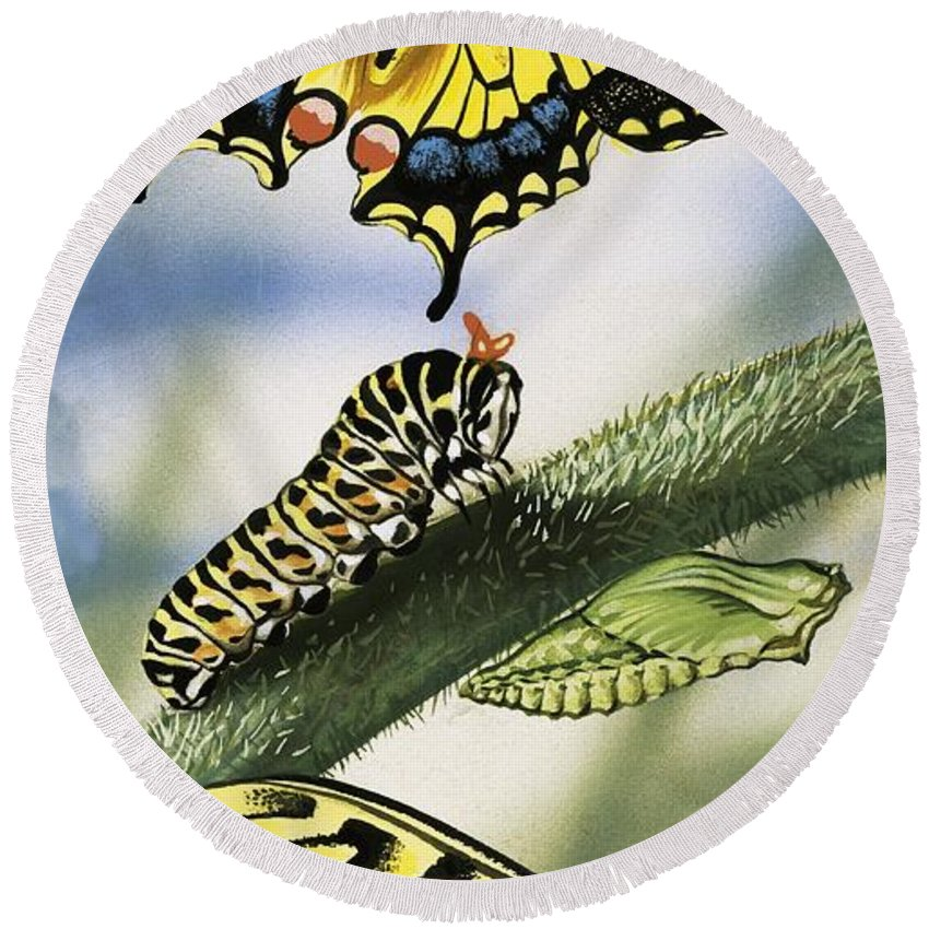 Animals; Nature ;wildlife; Countryside; Butterfly; Butterflies; Caterpillar Round Beach Towel featuring the painting Butterflies by English School