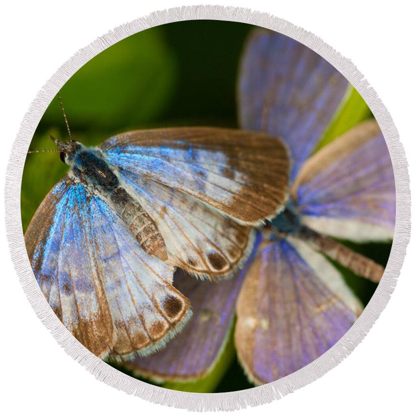 Leptotes Cassius Butterfly Round Beach Towel featuring the photograph Butterfly Pair by Diane Macdonald