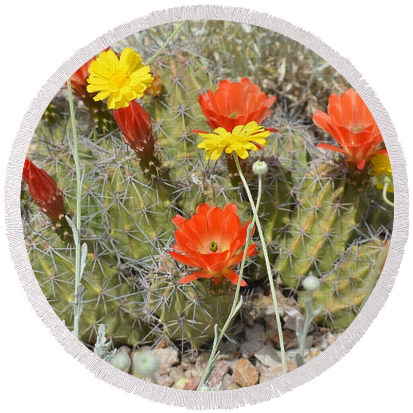 Desert Round Beach Towel featuring the photograph Cactus Flowers by Aimee L Maher ALM GALLERY