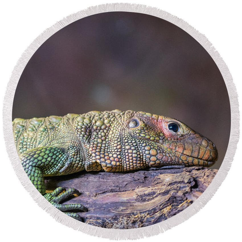 Caiman Round Beach Towel featuring the photograph Caiman Lizard by Kevin Williams