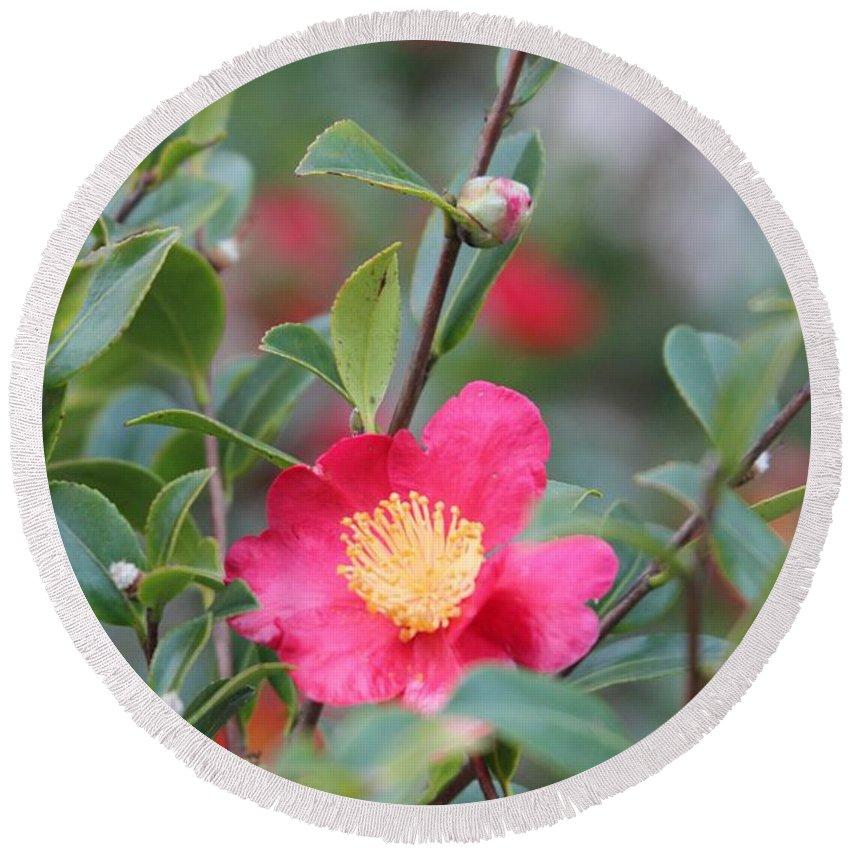 Camellia Sasanqua Yuletide Round Beach Towel featuring the photograph Camellia Sasanqua Yuletide by Marta Robin Gaughen