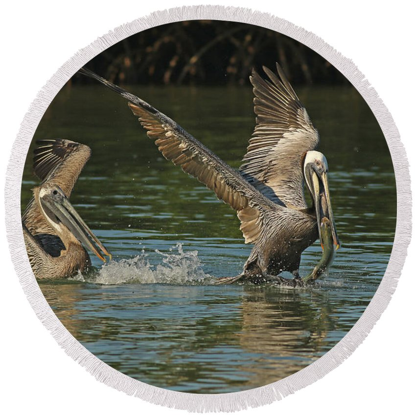 Pelicans Round Beach Towel featuring the photograph Can You Catch Me by Deborah Benoit
