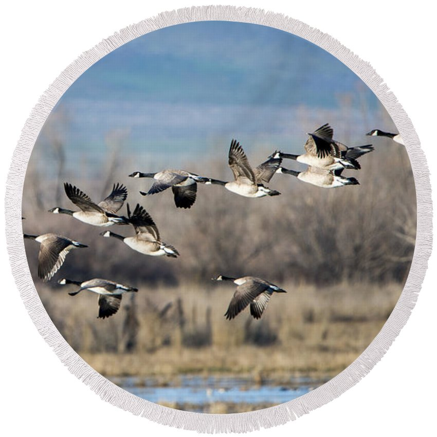 Canada Geese. Geese Round Beach Towel featuring the photograph Canada Geese Flock by Mike Dawson