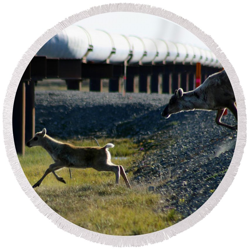Caribou Round Beach Towel featuring the photograph Caribou Cow And Fawn by Anthony Jones