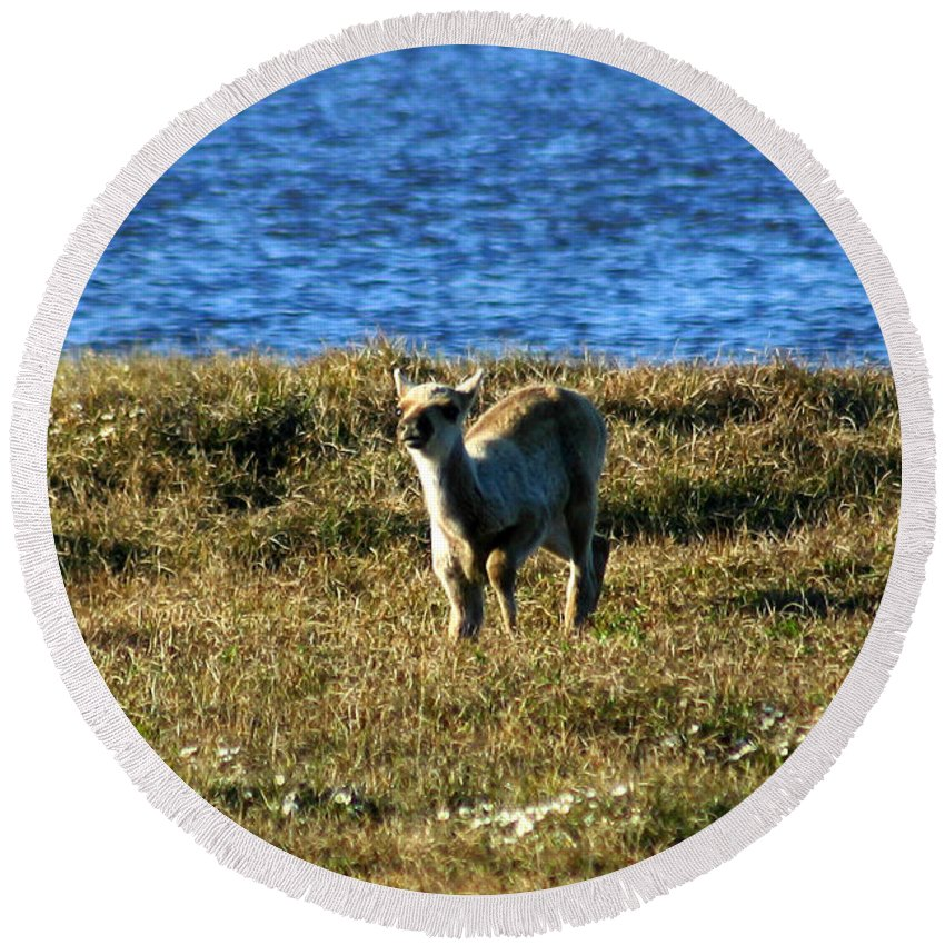 Fawn Round Beach Towel featuring the photograph Caribou Fawn by Anthony Jones