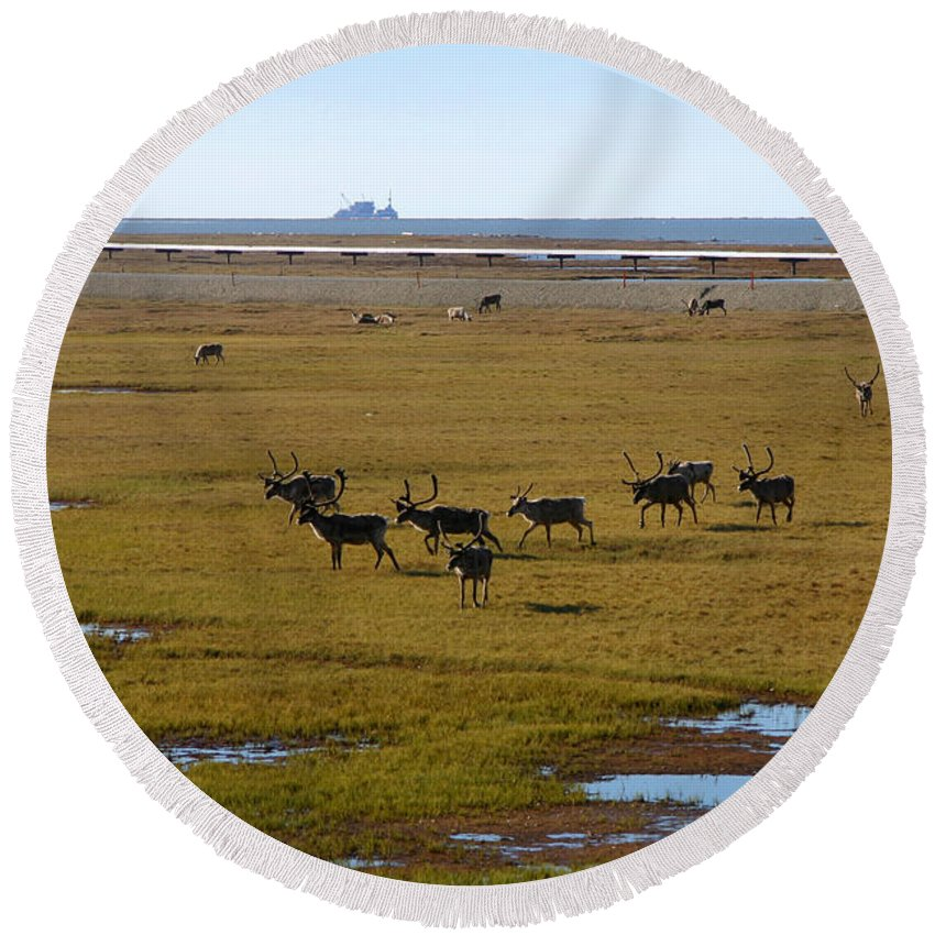 Caribou Round Beach Towel featuring the photograph Caribou Herd by Anthony Jones