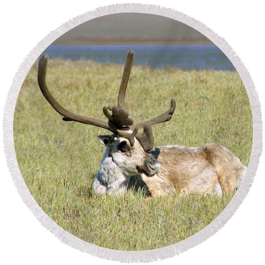 Caribou Round Beach Towel featuring the photograph Caribou Rest by Anthony Jones
