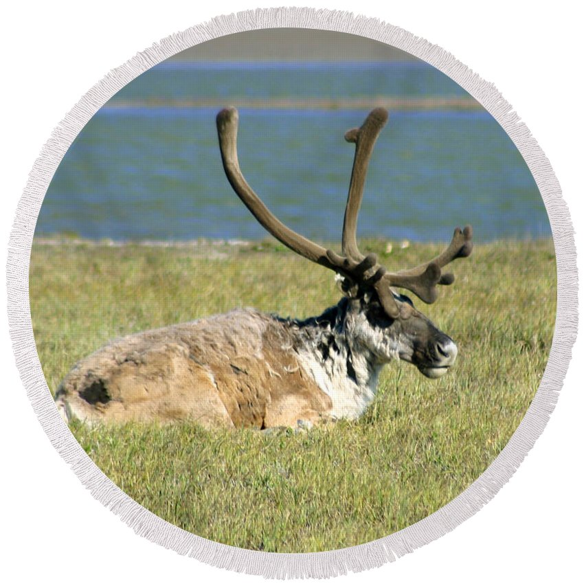 Caribou Round Beach Towel featuring the photograph Caribou Resting by Anthony Jones