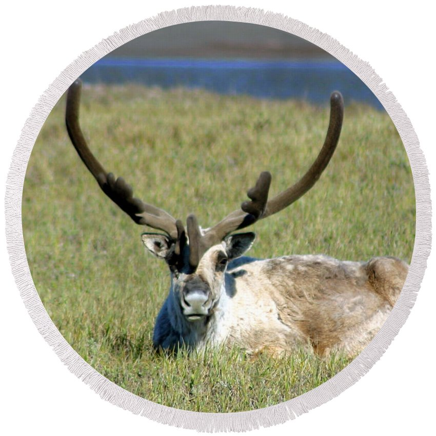 Caribou Round Beach Towel featuring the photograph Caribou Resting In Tundra Grass by Anthony Jones
