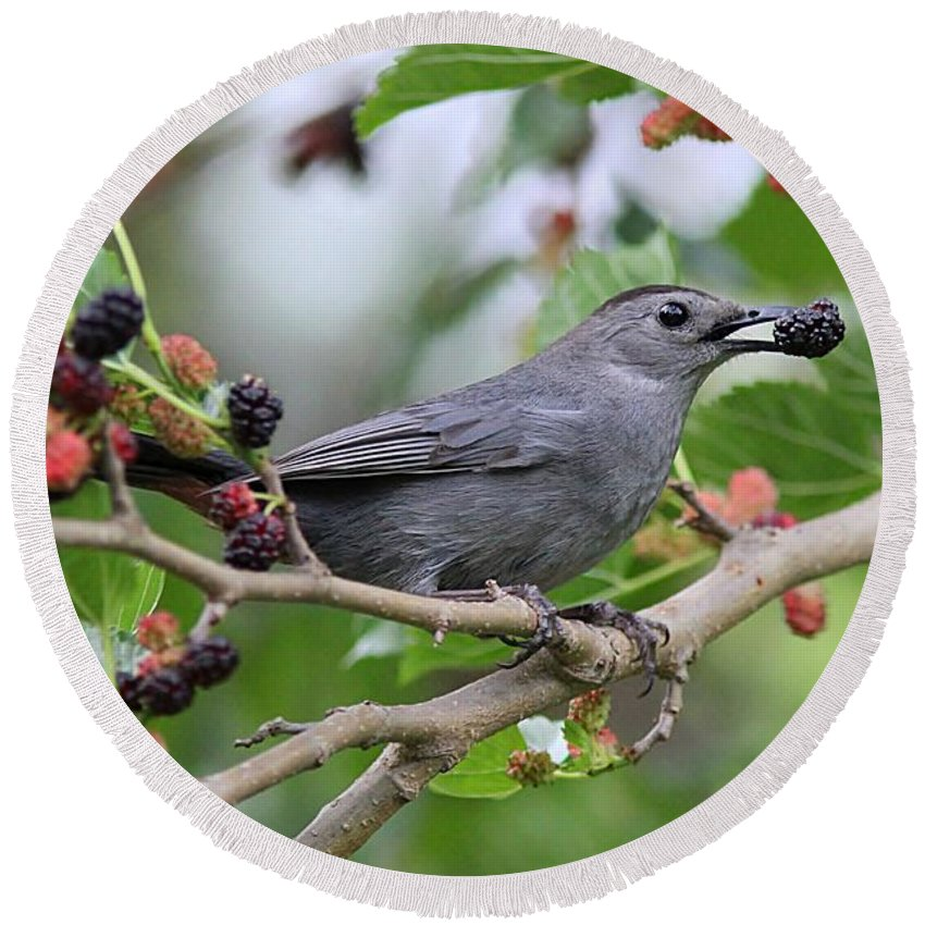 Catbird Round Beach Towel featuring the photograph Catbird Scores A Mulberry by Linda Crockett