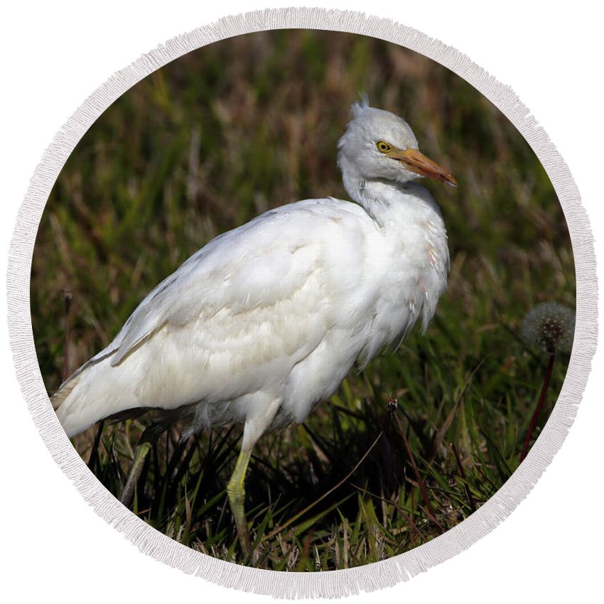Cattle Egret Round Beach Towel featuring the photograph Cattle Egret by Elizabeth Winter