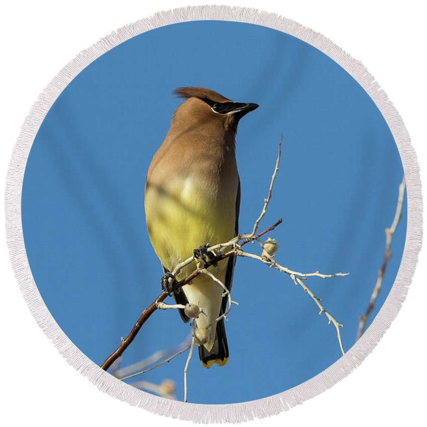 Waxwing Round Beach Towel featuring the photograph Cedar Waxwing Poses by Tony Hake