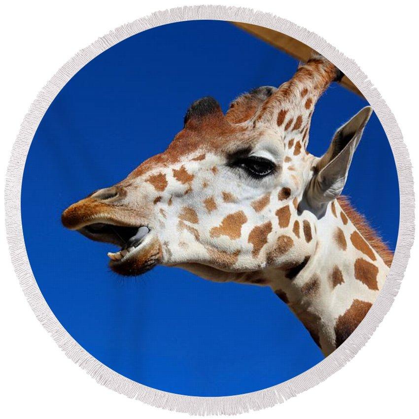 Giraffe Round Beach Towel featuring the photograph Chatty Kathy by Michiale Schneider