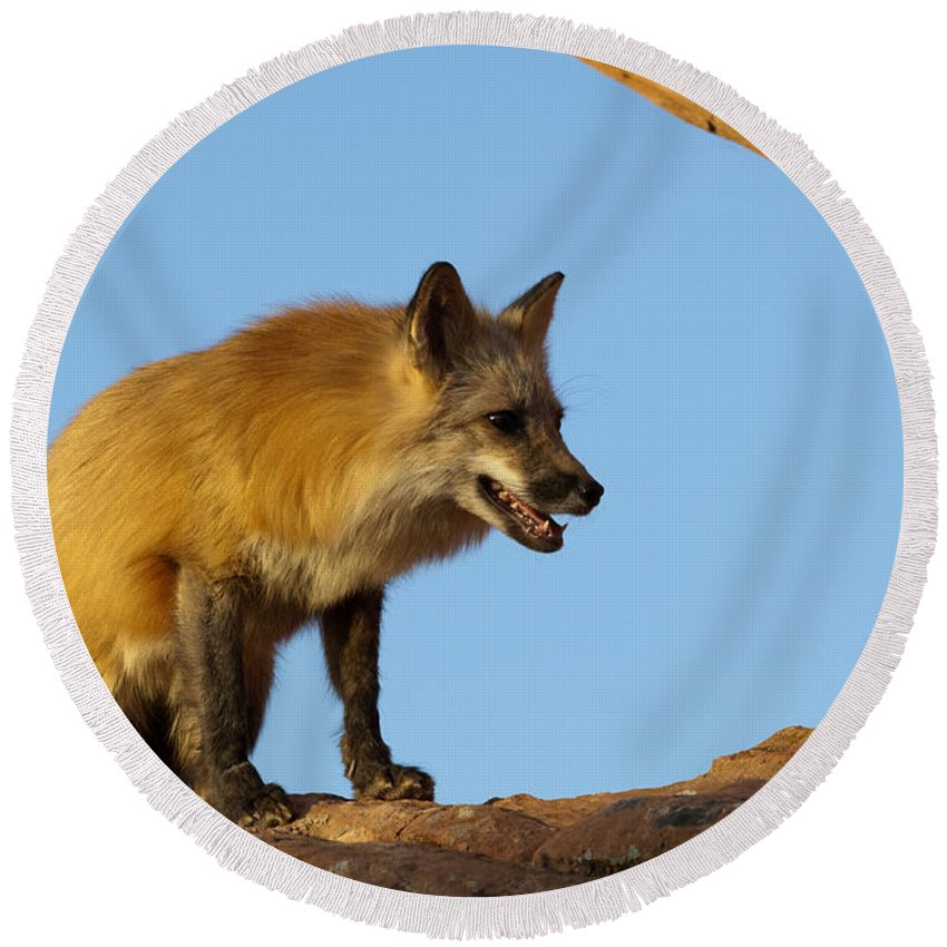 Fox Round Beach Towel featuring the photograph Checking My Shadow by Sandra Bronstein