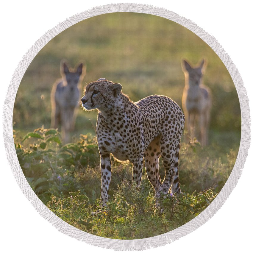 Photography Round Beach Towel featuring the photograph Cheetah Acinonyx Jubatus And Jackals by Panoramic Images