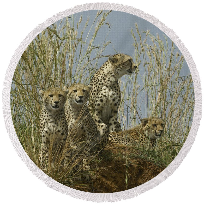 Africa Round Beach Towel featuring the photograph Cheetah Family by Michele Burgess